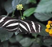 Zebra Longwing by Poete100