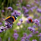 Red Admiral Butterfly by Vicki Field
