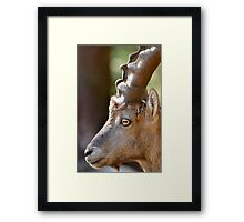 Male mountain ibex Framed Print