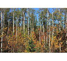 Aspen Autumn Photographic Print