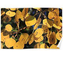 Aspen Poplar Leaves in Autumn Poster