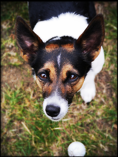 Jessie the Jack Russell Terrier: It's All About the Ball by Jay Taylor