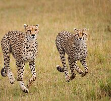 Cheetah, Serengeti plains, Tanzania by Neville Jones