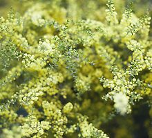 Wattle by Kim Jackman