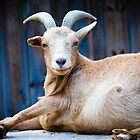 Photogenic Goat by LilithScream
