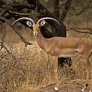 Lonely Impala by Neville Jones
