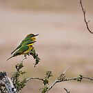 Little Bee-eaters (Merops pusillus) by Neville Jones