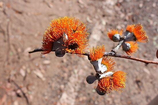 Darwin Gum in Flower by Finkie