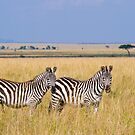 Zebra, Serengeti plains, Tanzania by Neville Jones