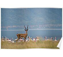 Grants Gazelle, Lake Bogoria, Kenya Poster