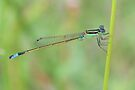 Blue-tailed Damselfly 1 by ©Dawne M. Dunton