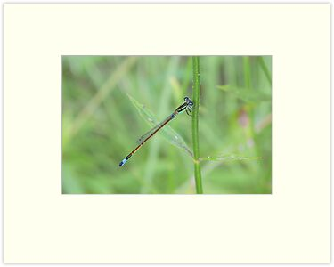 Blue-tailed Damselfly 2 by Dawne Dunton