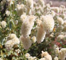 White Mulla Mulla Bush by Finkie