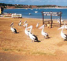 Pelicans by Robert Phillips