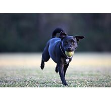 Staffordshire Bull Terrier Cross running with tennis ball in mouth and wearing heart dogtag Photographic Print