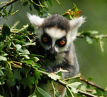 young ring tailed lemur by Steve Shand