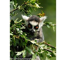 young ring tailed lemur Photographic Print