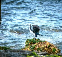 Shag on a rock by Dean Wiles