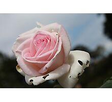 Broken Rose Photographic Print