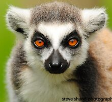 ring tailed lemur by Steve Shand