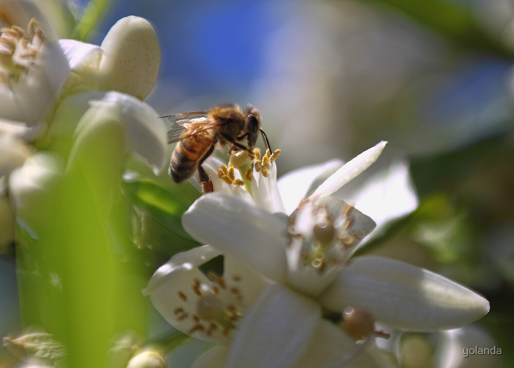 Orange Blossom Bee by yolanda