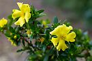 Cut Leaf Guinea Flower (Hibbertia cuneiformis) by Elaine Teague