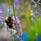 Harvesting Lavender by DMontalbano