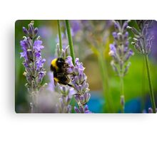 Harvesting Lavender Canvas Print