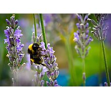 Harvesting Lavender Photographic Print