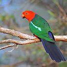 King Parrot (Male). Cedar Creek, Qld, Australia. by Ralph de Zilva