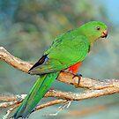 King Parrot (Female). Cedar Creek, Queensland, Australia. by Ralph de Zilva