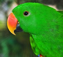 Eclectus Parrot  by Elaine  Manley