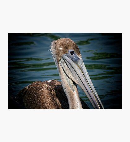 Brown Pelican Profile Photographic Print