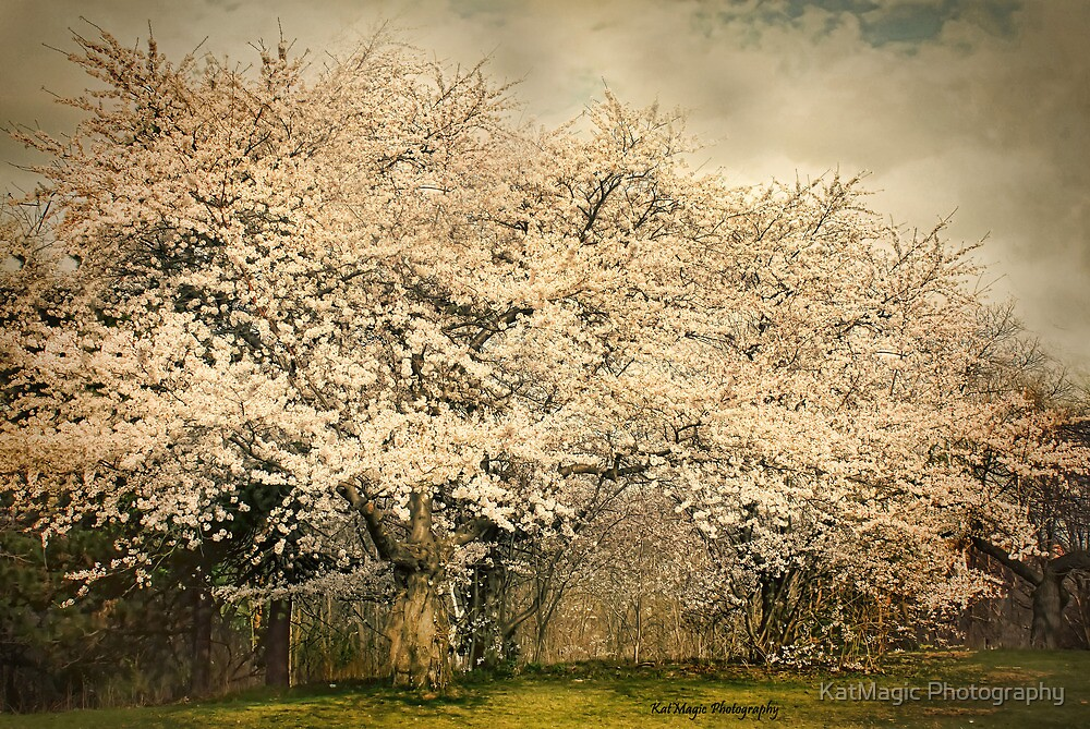 High Park Cherry Blossoms II by KatMagic Photography