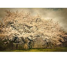 High Park Cherry Blossoms II Photographic Print