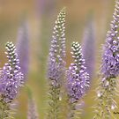 Bee on Hoary Vervain by KatMagic Photography