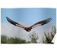 Bateleur Eagle 'Batty' Poster