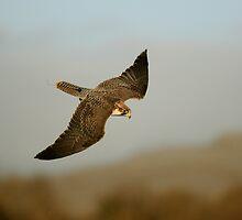 Lanner Falcon 'Bud' by Simone Kelly