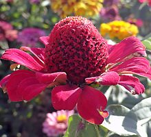 Red Cone Flower by Robert Meyers-Lussier
