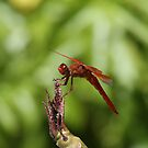Red Dragonfly Perched On Plumeria by DARRIN ALDRIDGE