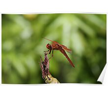 Red Dragonfly Perched On Plumeria Poster
