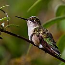 Ruby Throated Hummingbird by John Absher