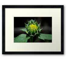 Sunflower - Almost Grown Framed Print