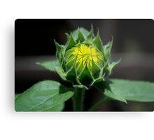 Sunflower - Almost Grown Metal Print