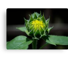 Sunflower - Almost Grown Canvas Print