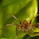 Lynx Spider by Kerrod Sulter