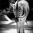 Zebra by Crystal Potter
