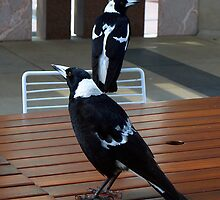 Black Backed Magpies - Parliament House, Canberra  by Bev Pascoe