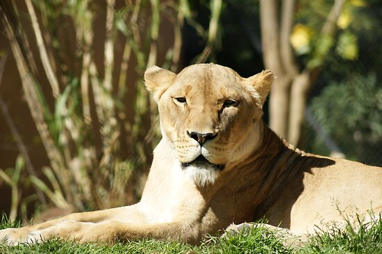 Lioness by Crystal Potter