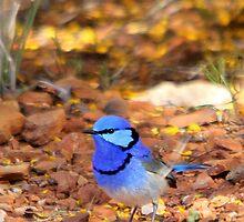Splendid Fairy-wren - male by EnviroKey
